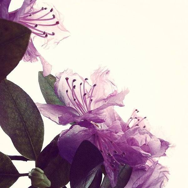 Still Life Wall Art - Photograph - Azaleas Dissolving by Angela Josephine