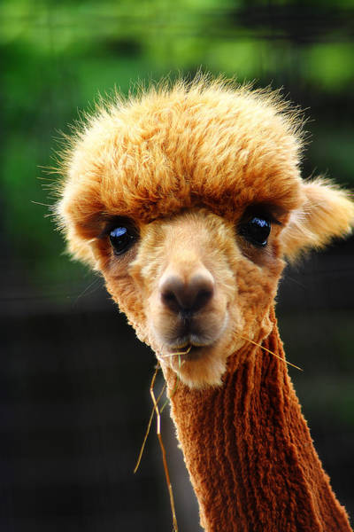 Photograph - Baby Alpaca 1 by Scott Hovind