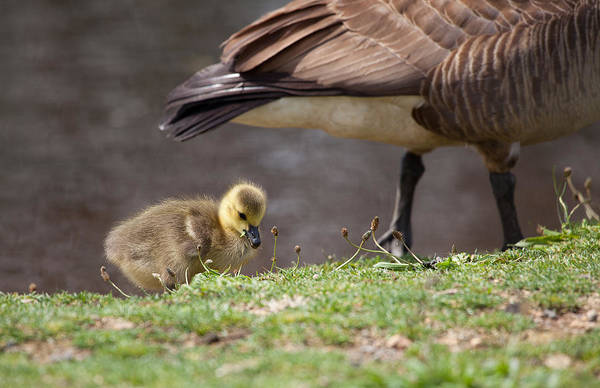 Mother Goose Photograph - Baby Back by Karol Livote