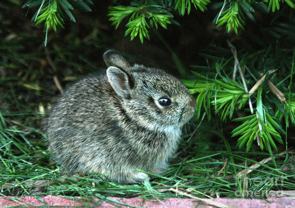 Photograph - Baby Bunny by Crystal Nederman