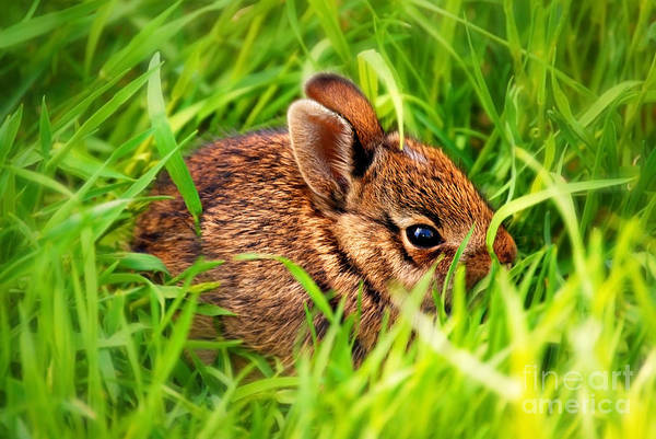 Wall Art - Photograph - Baby Bunny by HD Connelly