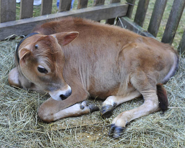 Photograph - Baby Calf by Terry DeLuco