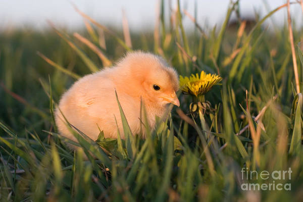 Photograph - Baby Chick In Green Grass by Cindy Singleton