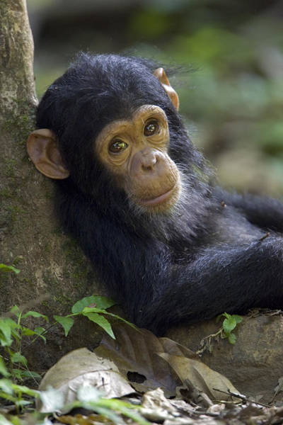 Gombe National Park Wall Art - Photograph - Baby Chimpanzee In Gombe Stream Np by Ingo Arndt