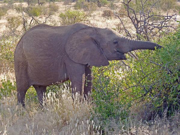 Photograph - Baby Elephant by Tony Murtagh