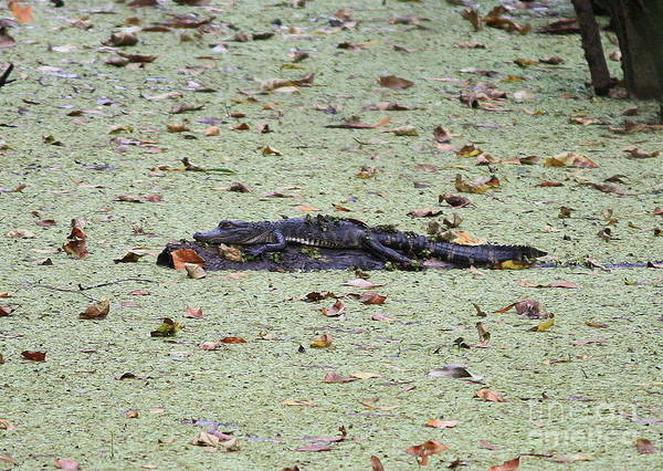 Photograph - Baby Gator In The Swamp by Carol Groenen