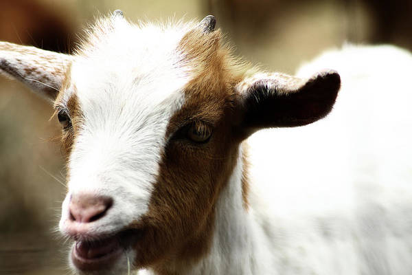 Photograph - Baby Goat 2 by Scott Hovind