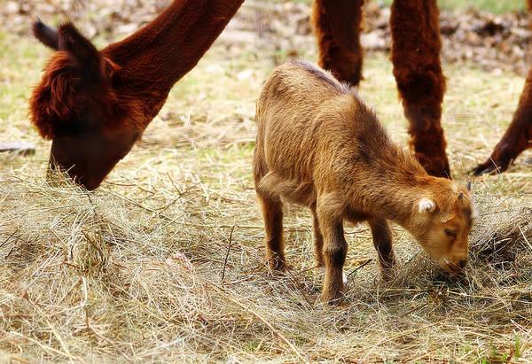 Photograph - Baby Goat 3 by Scott Hovind