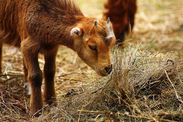 Photograph - Baby Goat 4 by Scott Hovind