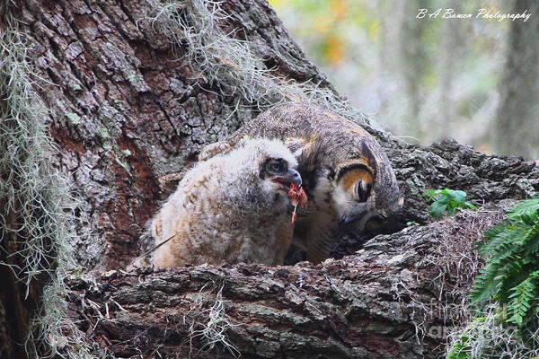 Photograph - Baby Owl Feeding by Barbara Bowen