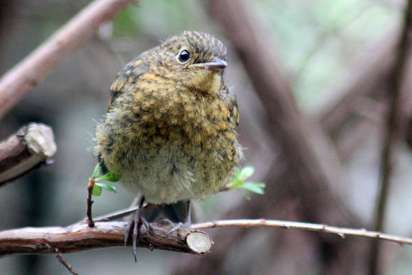 Photograph - Baby Robin On Branch by Tony Murtagh