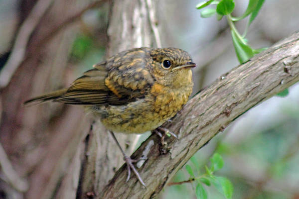 Photograph - Baby Robin by Tony Murtagh