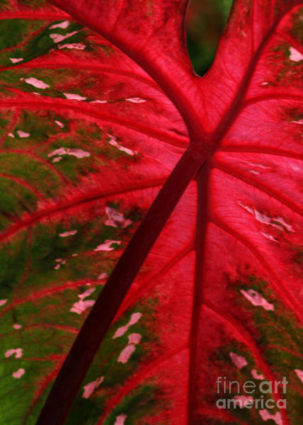 Photograph - Backlit Red Leaf by Sabrina L Ryan