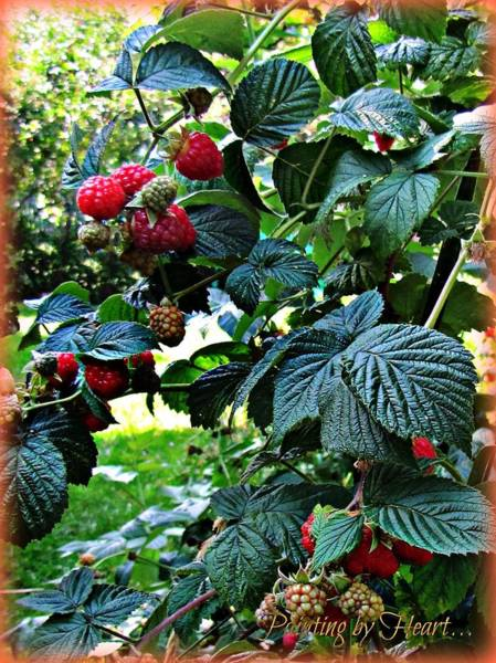 Photograph - Backyard Berries by Deahn      Benware