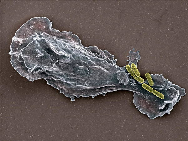 Trapping Photograph - Bacteria And Neutrophil Cell, Sem by