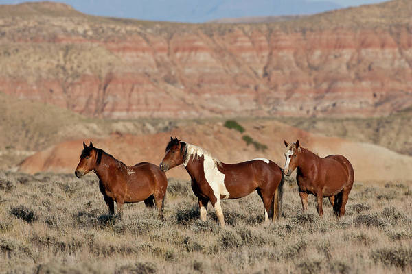 Badland Mustangs Art Print