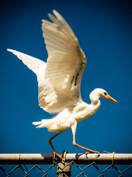 Photograph - Balancing Egret by Daniel Marcion