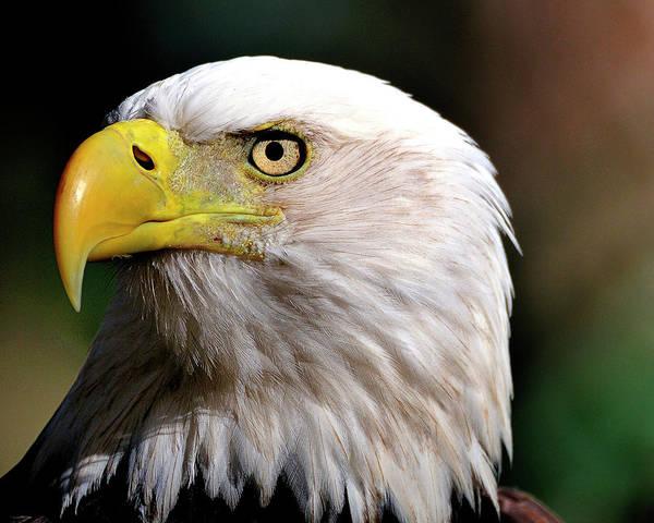 Bald Eagle Close Up Art Print