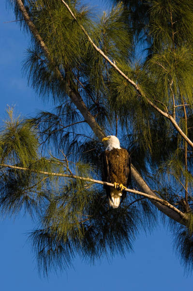 Photograph - Bald Eagle by Ed Gleichman