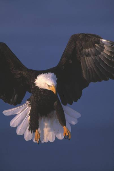 Falconiformes Photograph - Bald Eagle Hovering In The Air by Natural Selection David Ponton
