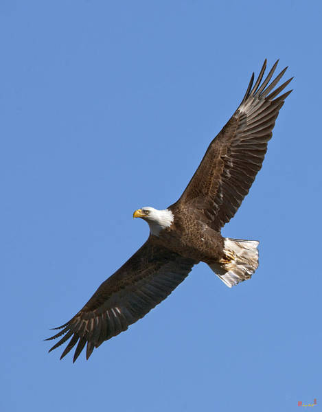 Photograph - Bald Eagle Soaring Over Pohick Bay Drb139 by Gerry Gantt