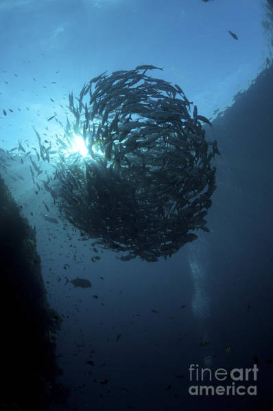 Trevally Photograph - Ball Of Trevally On Liberty Wreck by Mathieu Meur
