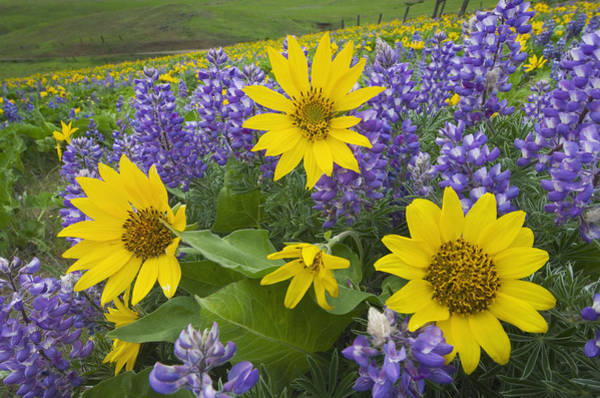 Wall Art - Photograph - Balsamroot And Lupines, Dalles Mountain Ranch by Alan Majchrowicz