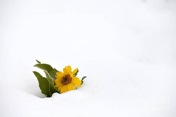 Balsamorhiza Sagittata Photograph - Balsamroot In Snow by Hal Horwitz and Photo Researchers