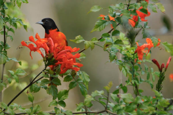 Photograph - Baltimore Oriole In Orange Honeysuckle by Bradford Martin