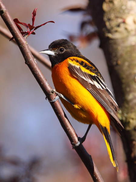 Wall Art - Photograph - Baltimore Oriole Iv by Bruce J Robinson