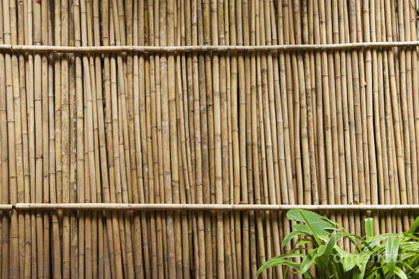 Bamboo Shoots Photograph - Bamboo Fence by Don Mason