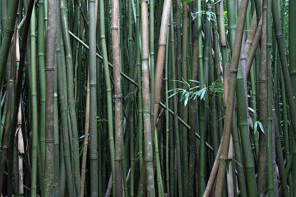 Photograph - Bamboo Forest by Pierre Leclerc Photography