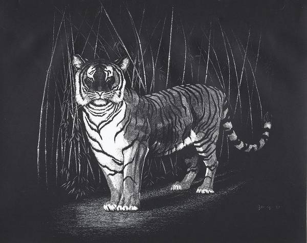 Bengal Tiger Drawing - Bamboo Tiger by Bill Gehring