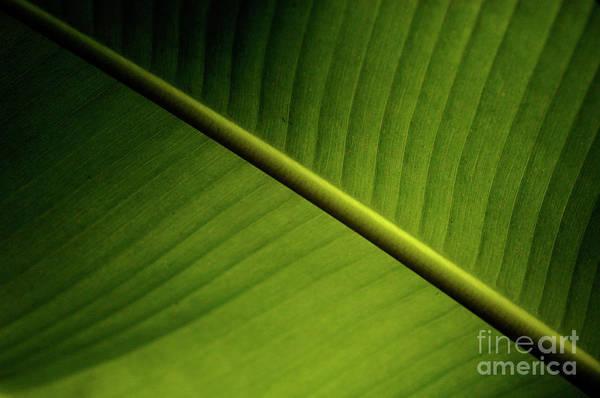 Surfboard Fence Photograph - Banana Leaf 2 by Bob Christopher