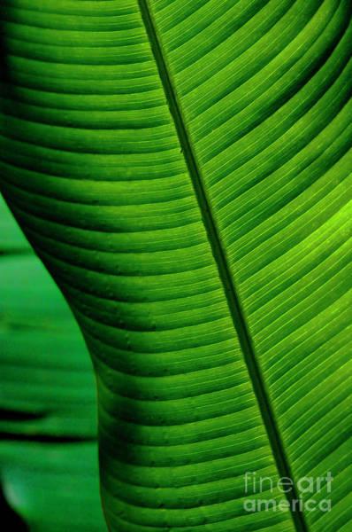 Surfboard Fence Photograph - Banana Leaf by Bob Christopher