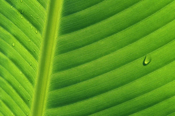 Photograph - Banana Musa Sp Close Up Of Leaf by Cyril Ruoso