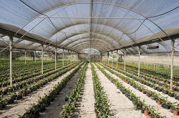 Kibbutz Photograph - Banana Nursery by Photostock-israel