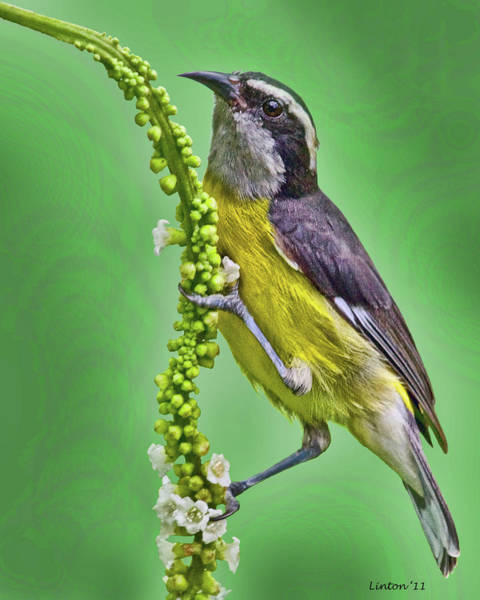 Photograph - Bananaquit by Larry Linton