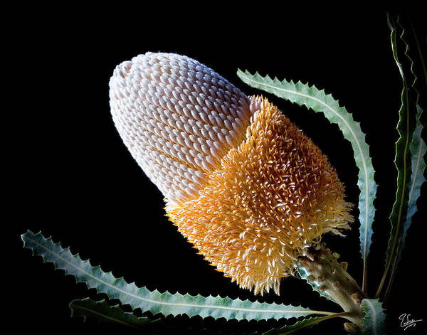 Photograph - Banksia by Endre Balogh