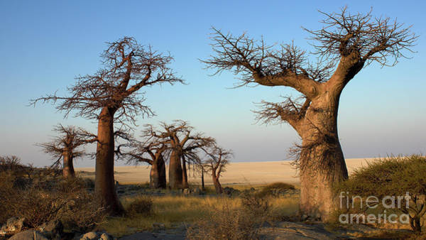 Photograph - Baobabs Of Makgadikgadi by Mareko Marciniak