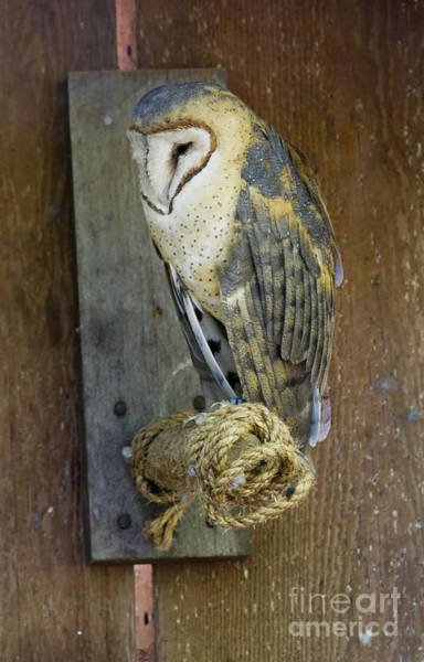 Wall Art - Photograph - Barn Owl At Roost by Mike  Dawson