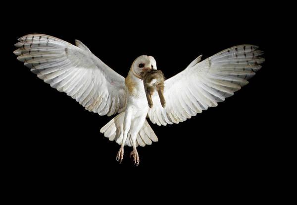 Photograph - Barn Owl by D Robert Franz