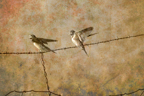 Chirping Photograph - Barn Swallows On Barbed Wire Fence by Randall Nyhof