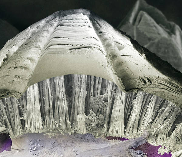 Biomimetics Wall Art - Photograph - Barnacle Glue, Sem by Power And Syred
