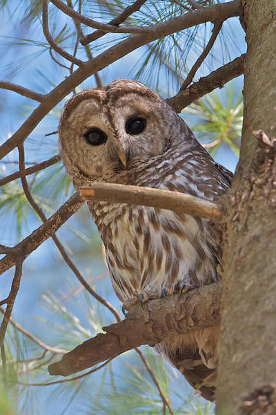 Photograph - Barred Owl by Dale J Martin