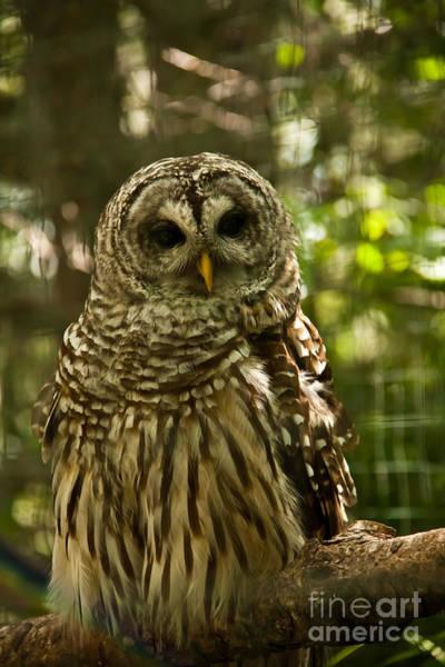 Photograph - Barred Owl by Rachel Duchesne