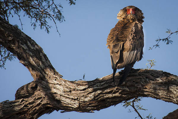 Photograph - Bateleur by Andy Bitterer