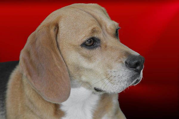 Wall Art - Photograph - Beagle - A Hound's Hound by Christine Till