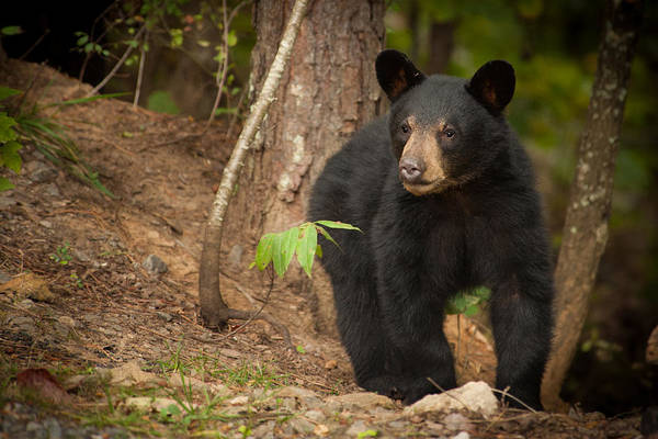 Photograph - Bear Thoughts by Joye Ardyn Durham