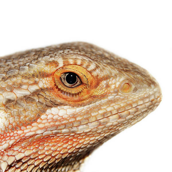 Scale Photograph - Bearded Dragon by Kelly Bowden